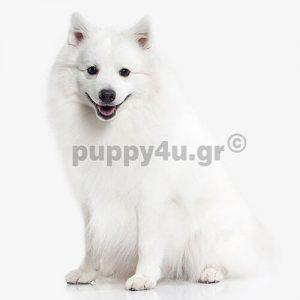 Ιαπωνέζικο Σπίτζ   puppy4u.gr