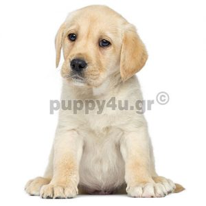 Λαμπραντόρ   puppy4u.gr