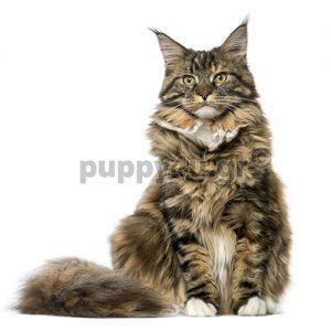 Γάτα Μέιν Κουν | puppy4u.gr