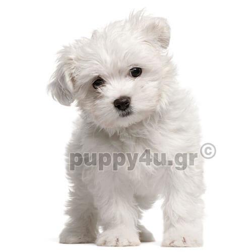 Μαλτέζ | puppy4u.gr