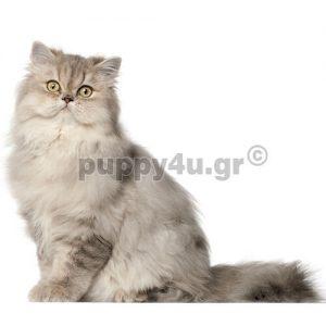 Γάτα Περσίας | puppy4u.gr