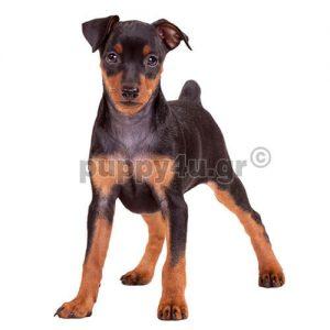 Μίνι Πίνσερ | puppy4u.gr