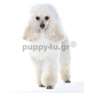 Κανίς Μίνι | puppy4u.gr