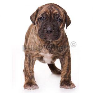 Πρέσα Κανάριο | puppy4u.gr