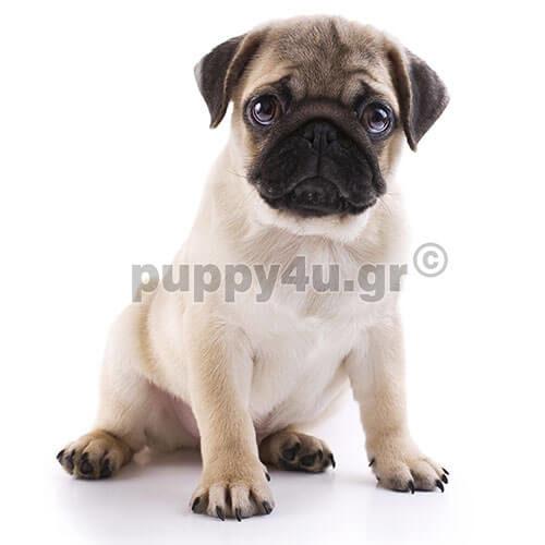 Πάγκ | puppy4u.gr