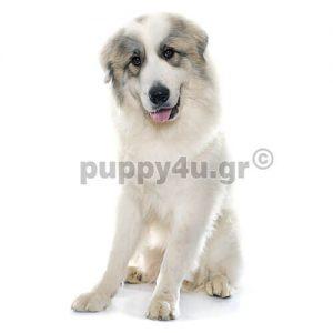 Πυρηναίων | puppy4u.gr