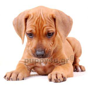 Ροδεσιανό Ριτσμπακ | puppy4u.gr