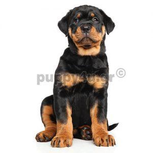 Ροτβάιλερ | puppy4u.gr