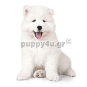 Σάμογιεντ | puppy4u.gr