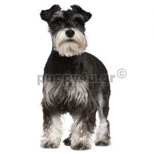 Μίνι Σνάουτσερ   puppy4u.gr