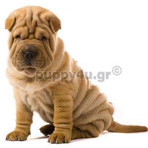 Σάρ Πεϊ | puppy4u.gr