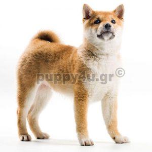 Σίμπα Ινου | puppy4u.gr