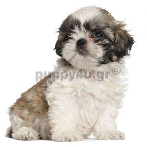 Σιχ Τσου | puppy4u.gr