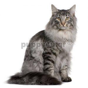 Γάτα Σιβηρίας | puppy4u.gr