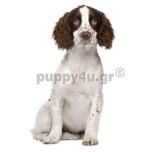 Σπρίνγκερ Σπάνιελ | puppy4u.gr
