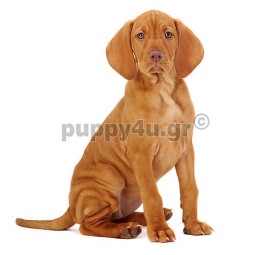 Βίσλα.puppy4u.gr