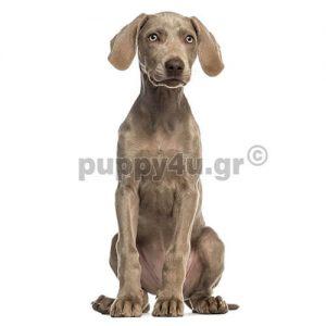 Βαϊμαράνερ | puppy4u.gr
