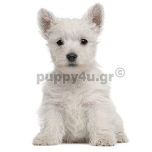 Γουέστ Χάιλαντ Τεριέ | puppy4u.gr