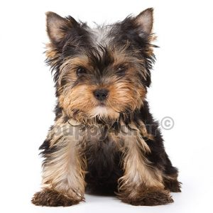 Γιορκσαϊρ Τεριέ | puppy4u.gr